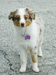 australian shepherd velcro dog 17 best images about awesome aussie u0027s on pinterest aussie