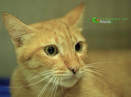 hukum memandulkan kucing hishammarmin com kebaikan dan keburukan memandulkan kucing