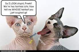 Hairless Cat Meme - heartbroken lolcats lol cat memes funny cats funny cat