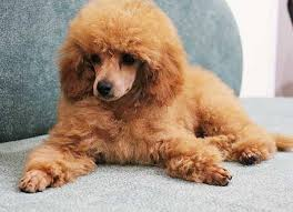 poodles long hair in winter do poodles shed a lot standard toy miniature poodle shedding