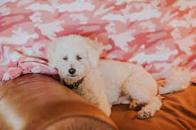 bichon frise 17 years old adopt a dog bichon frise mix cody doesn u0027t act his 11 years