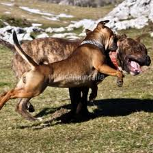 american pitbull terrier vs amstaff staffy vs amstaff foros de staffordshire bull terrier