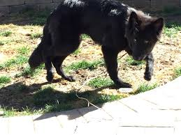 belgian shepherd los angeles pct blog pure canine training obedience dog training in los