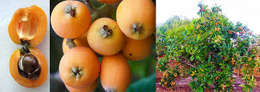 houston fruit tree sale toptropicals com rare plants for home and garden