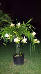 my dragon fruit trellis in bloom taken at night because the