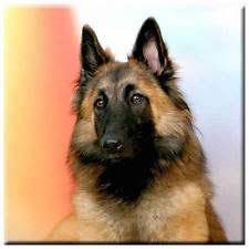 belgian sheepdog merchandise belgian tervuren collectibles ebay