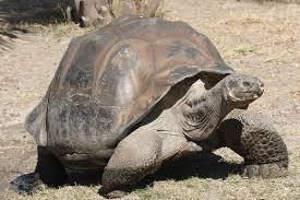galápagos tortoise wikipedia