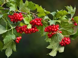 viburnum berries diy
