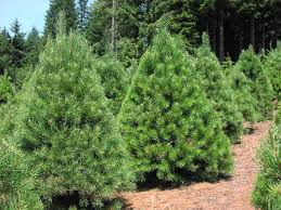 scotch pine christmas tree and coming in at 1 in the the five most popular christmas trees