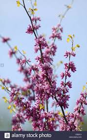 calif native plants western redbuds grow from the california native plants section of