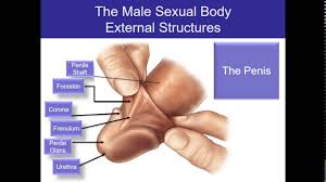 Female Sexual Anatomy Pictures Human Sexuality Ch 2 Male Sexual Anatomy Youtube