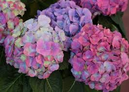 purple hydrangea how to change hydrangea flower color hgtv