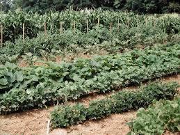 intensive gardening layout florida vegetable gardening designs ideas home design ideas