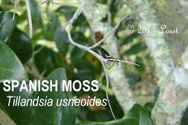 florida native plants pictures spanish moss tillandsia usneoides what florida native plant is