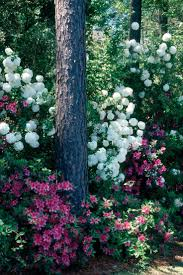 native chinese plants best 25 snowball plant ideas on pinterest hydrangea climbers