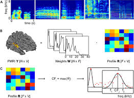 processing of natural sounds in human auditory cortex tonotopy