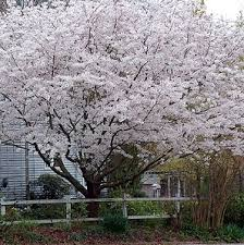 7 inexpensive landscaping trees evansville lawn landscape