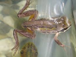 keeping tadpoles and frogs in preschool