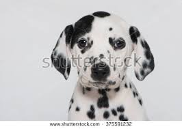 dalmatian puppy stock images royalty free images u0026 vectors