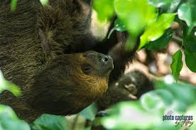 4 toed sloth photo captures by jeffery camels two toed sloths binturong bearcat