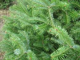 balsam tree best selection of balsam fir christmas trees for sale in orlando fl
