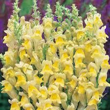 yellow annuals at thompson morgan