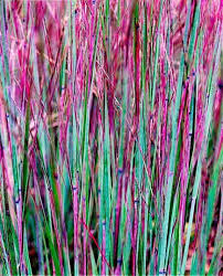 best ornamental grasses for midwest gardens ornamental grasses