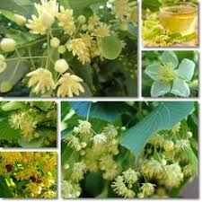 linden flower benefits of linden flower tea flower tea insomnia and teas