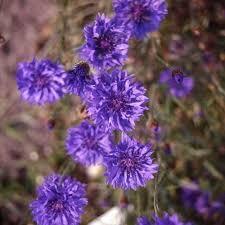 cornflower blue cornflower blue centaurea cyanus 1000 seeds