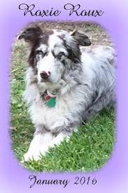 c c australian shepherds louisiana heavenly pet memorial tribute page