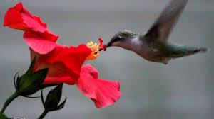 hummingbird flowers hummingbird from a flower