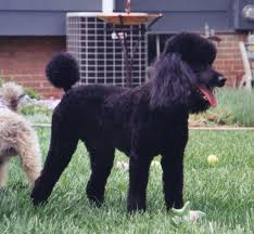 standard poodle hair styles tail styles poodle forum standard poodle toy poodle
