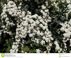 Shrub Small White Flowers - green spring bush studded with small white flowers stock photo
