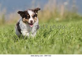 running with australian shepherd puppy australian shepherd puppy running grass stock photos u0026 australian