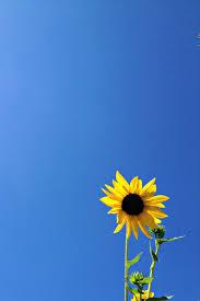 yellow sunflower on a sapphire blue sky beach bum chix produx