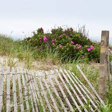 cape cod beach roses photograph by michelle wiarda constantine