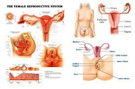 anatomy of ovaries choice image human anatomy learning