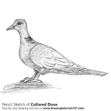 collared dove pencil drawing how to sketch collared dove using