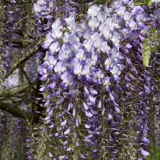 kletterpflanzen fã r balkon kletterpflanzen für den garten gibt s hier in vielen sorten