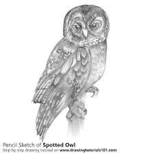 spotted owl pencil drawing how to sketch spotted owl using