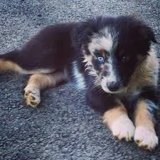 7 month old australian shepherd puppy best 25 aussie dogs ideas on pinterest mini aussie mini aussie