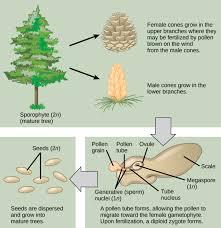 gymnosperms boundless biology