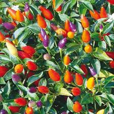 tricolore garda ornamental pepper gurney s seed nursery