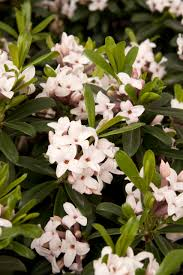 Fragrant Patio Plants - eternal fragrance daphne monrovia eternal fragrance daphne