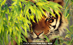 tiger the king of jungle beautifully in hd wallpaper
