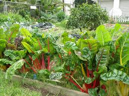 Types Of Community Gardens - growing swiss chard bonnie plants