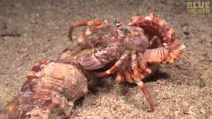 incredible footage of hermit crab changing shells with anemones