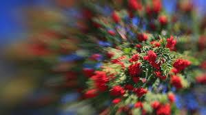 sunlit rowan tree with berries waving in the wind on