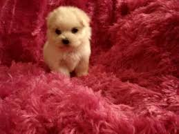 bichon frise kentucky teacup toy maltese maltipoo morkie yorkie puppies for sale in los