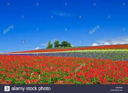 colorful flower gardens colorful flower garden and blue sky in hokkaido stock photo
